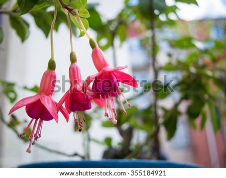 Three bell flowers fuchsia