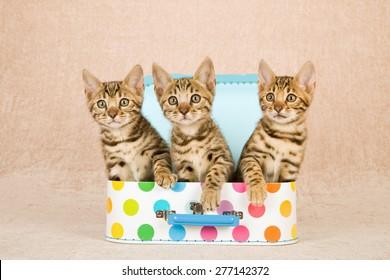 Three Bengal kittens sitting inside miniature polka dot luggage suitcase on beige background