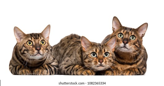 Three Bengals Cat Lying down in a raw, isolated on white