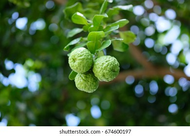 Three bergamot fruits on bergamot tree with light bokeh background