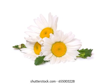 Three big daisies (camomile) isolated on white background. Group of spring flowers.