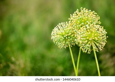 Three big round decorative blossom onion yellow flowers on green blurred bokeh background closeup, Allium cristophii or Allium giganteum ornamental plant, scenic dandelion flowers in bloom, copy space