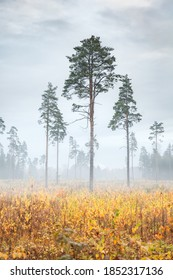 Three big tall pines. Autumn trio. Foggy walk in the woods. Yellow field. Trees in the haze. Quiet, calm, melancholy. Sad mood. It's rainy and overcast. Late autumn.