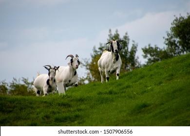 Three Billy Goats Gruff on a walk