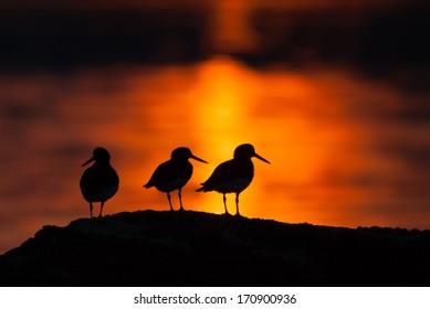 Three bird silhouettes in warm midnight sun light
