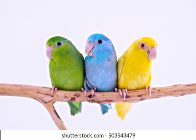 Three birds stand on the branch with white background.