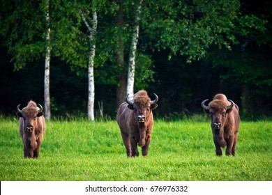 Three bisons look into the camera, grazing on green meadow with forest on background. Belovezhskaya Pushcha National Park, Belarus.