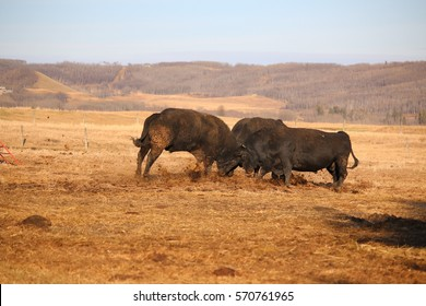 Three black bulls fight for dominance of the herd - 2