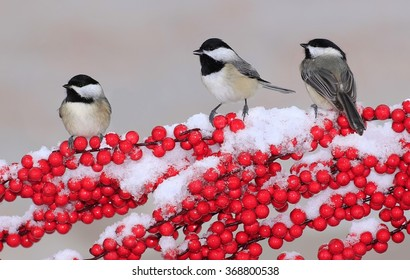 Three Black- capped Chickadees (Poecile atricapillus) on a snowy branch loaded with bright red berries.