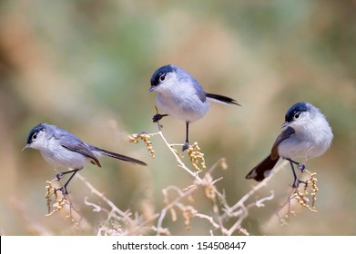 Three Black Tailed Gnatcatchers Perched In Bush/Three Amigos