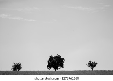 Three black trees stand on a corn field