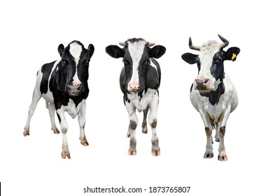 Three black and white spotted cows full length isolated on white background. Cow close up. Farm animals. Straight view