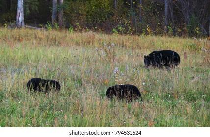 Three blackbears in grass
