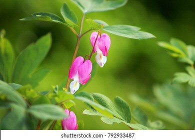 Three bleeding heart flowers-horizontal
