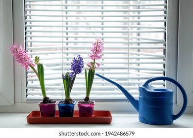 Three blooming multi-colored hyacinths on the window with a blue watering can. Home garden on the window. Copy space.
