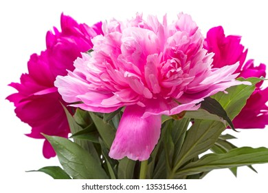 Three blooming peonies isolated on white background