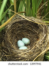 three blue blackbirds eggs laying in the bottom of the nest