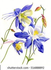 Three Blue Columbine Blossoms. Watercolor painting, illustration, of blue columbine flowers isolated