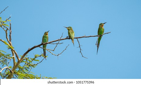 Three blue-cheeked bee-eaters sitting on a tree branch.