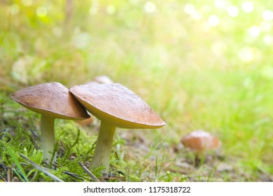 Three bolete fungus ( suilus luteus) growing together in the forest
