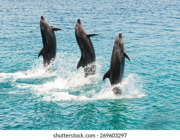 three bottlenose dolphins doing an exhibition as walking on the water
