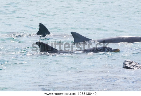 Three bottlenose dolphins in tight formation swimming left to right