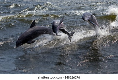 Three Bottlenose Dolphins (Tursiops truncates)