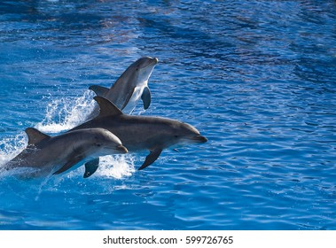 Three bottle-nosed dolphins jump out of the water