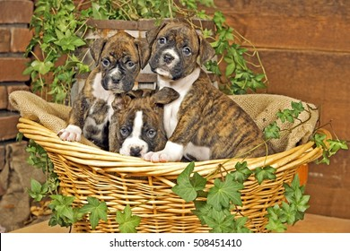 Three Boxer Puppies sitting together in basket