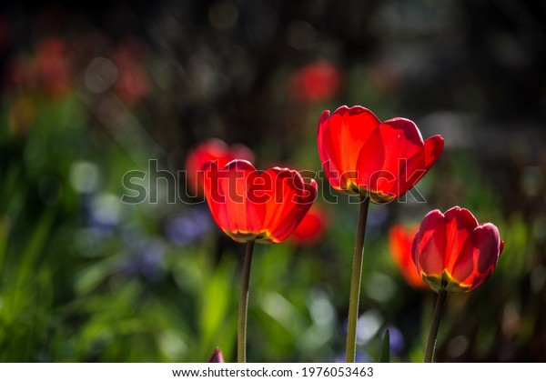 three-bright-red-tulips-sunlight-600w-19