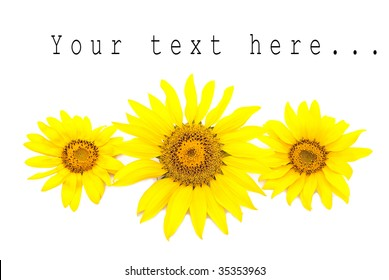 Three bright sunflowers on a white background