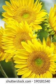 Three Bright Yellow Sunflowers