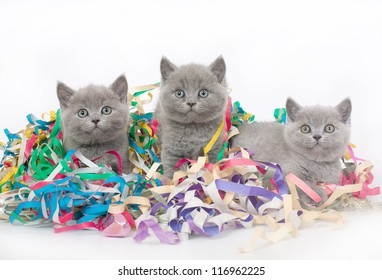 Three British kitten with Christmas tinsel.