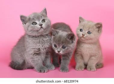Three British kitten on a pink background.