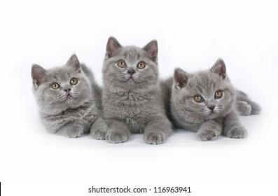 Three British kitten on white background.