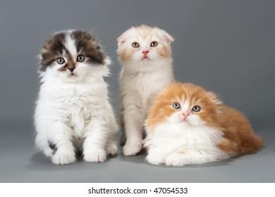 Three brother kitten scottish fold breed on gray. No isolated.