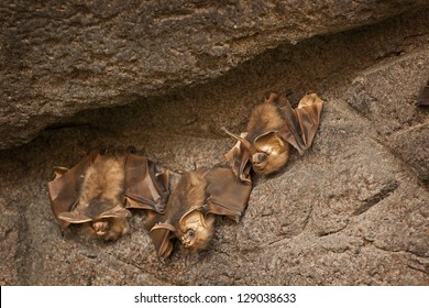 Three brown bats clinging to a stone wall.