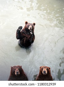 Three brown bears standing in the water looking up at the camera, and one of them looks like it's waving.