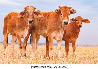 Three brown calves on a pasture of a farm. Photo with full body, dry pasture, one next to each other. Calves on fattening regime.