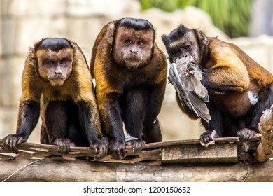 Three brown capuchins eating a dove