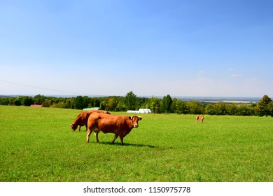 Three brown cows grazing on the green field near a lush forest with one of the cows looking straight up and the other ones eating grass during a hot summer day in Poland