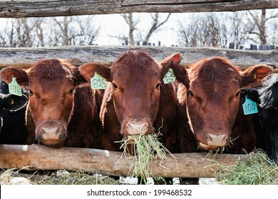 Three brown cows in a row, eating hay in early spring.