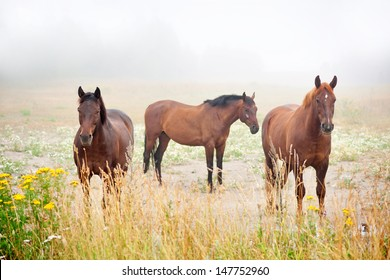 three brown horses in field on early misty morning
