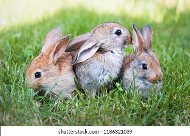 Three brown rabbits in the grass