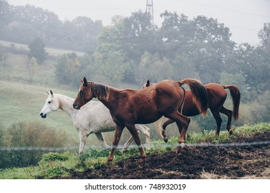 Three brown and white horses isolated on the grass on the misty morning