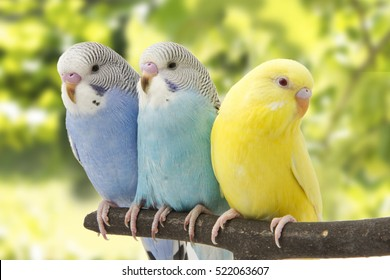 three budgies are in the roost.