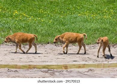 Three Buffalo Calves