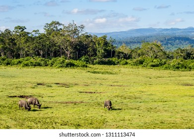 Three buffalos grazing in a meadow at Aberdare Park in central Kenya