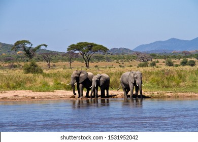 Three bull elephants drink at leisure from the Great Ruaha River close to its confluence with the Mdonya river.