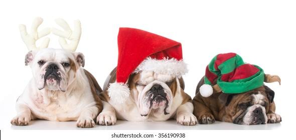 three bulldogs dressed for christmas